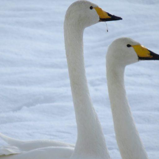 鳴子で冬の使者に出会える場所