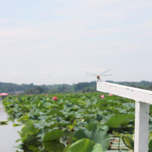 夏の伊豆沼(宮城県栗原市)